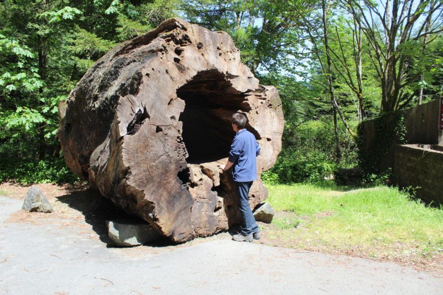 Fallen Redwoods Tree
