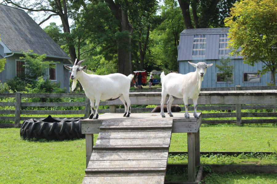 goats at canatara animal farm