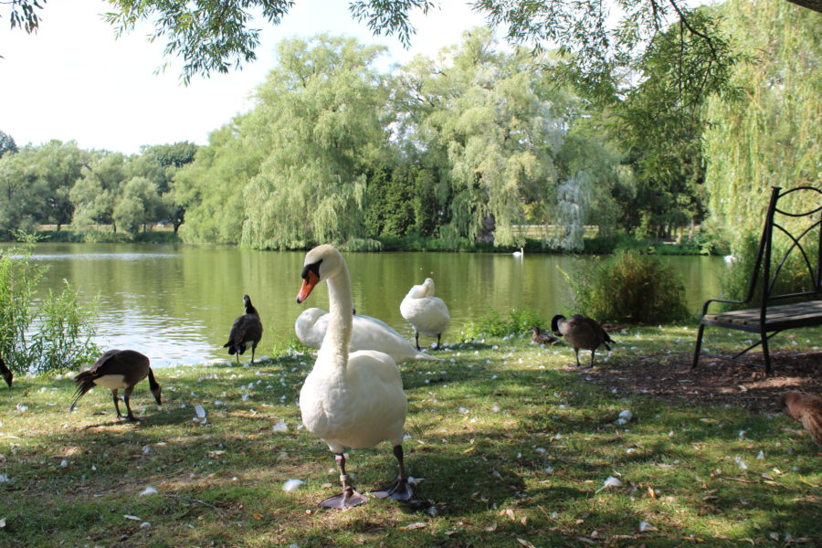swans in Stratford, Ontario