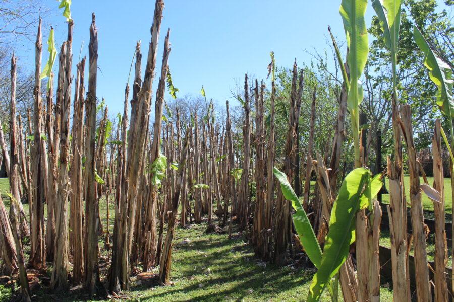sugar cane on the Laura Plantation