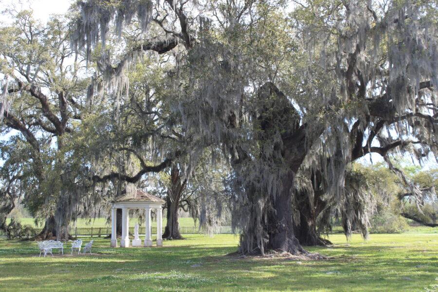 oak tree with Spanish moss