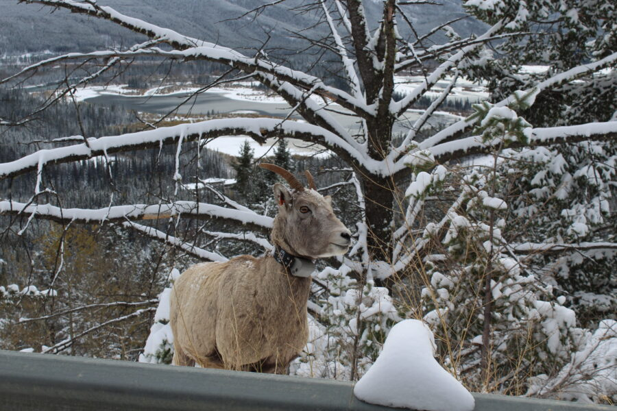 big horn sheep banff
